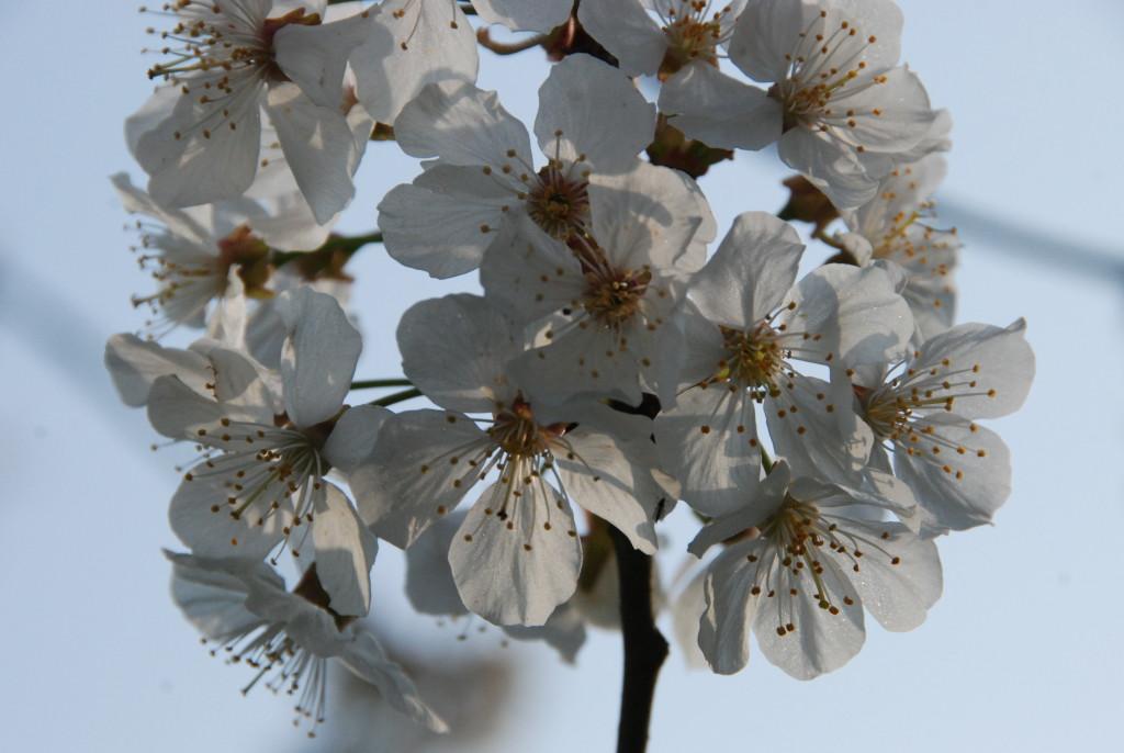 Floraison cerisier Garoa - copyright Julot